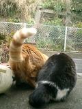 04)'ステッペンウルフ'のビーバーみたいな平べったい尻尾じゃぁ、頭が見えないと猫らしくもないような・・・